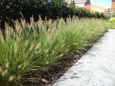 Dwarf Hameln fountain grass – Growing Lavender Gardening - Growing Plants at Home Grass For Sale, Fountain Grass, Vegetable Garden Design, Garden Types, Fence Design, Ornamental Grasses, Garden Inspiration, Garden Landscaping, Landscaping Ideas