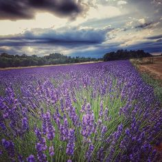 https://flic.kr/s/aHskFd9BPA | 2016 France Lavender Harvest | Simiane-la-Rotonde, Provence, France