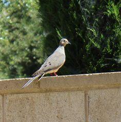 Dove in the yard