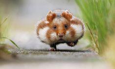 Chubby Cheeks by Julian Rad via 500 pxs       European Hamster (That's a wild living Hamster)