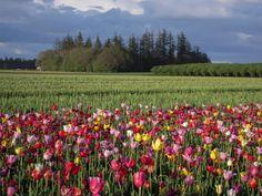 Tulip Farm in Woodburn, OR