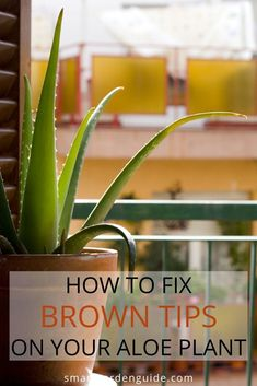 Brown tips on Aloe Vera plants is a common problem that can ruin the look of your plant Find out why Aloe plants get brown tips and how to prevent it Aloe Vera Plant Indoor, Aloe Plant Care, Plants Indoor, Pot Plants, Hanging Plants, Smart Garden, Easy Garden, Big Garden, Garden Fun