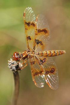 Eastern Amberwing Dragonfly By Bob McPherson