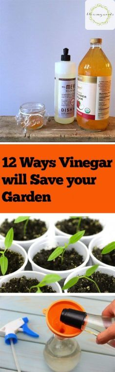 Gardening 101- *wash nasty clay pots to make um pretty again, soak rags & leave around to keep pests (cat, dog,,,) away, 1 c vin & 1 gal water then add to soil for acid loving plants like rhod. & azal., mix equal vin & water in spray bottle to stop the ant parade, use directly to kill any weeds, 2Tbs vin & 2 tsp sugar to extend life of cut flowers, 1 c water + 1/2 c ap.cider vin + 1/4 c. sugar + 1 Tsp molasses in plastic covered container or fruit flies, soak tools after use to help prevent…