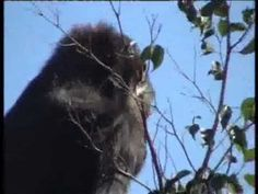 """La gorila """"Ali""""   The gorilla """"Ali"""""""