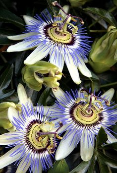 Version of the passion flower (Passiflora) with which I am most familiar Even though historical Exotic Flowers, Tropical Flowers, Types Of Flowers, Beautiful Flowers, Passion Flower, Plantation, Trees To Plant, Garden Inspiration, Beautiful Gardens