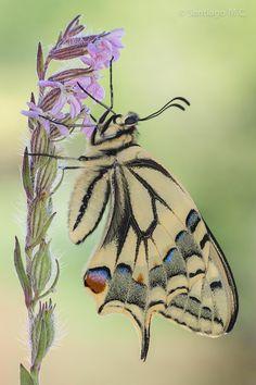 Papilio machaon by Santiago M. C.