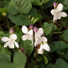 Hardy Violets / Viola | Mike's Garden Top 5 Plants