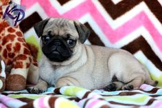Ruby – Pug Puppies for Sale in PA | Keystone Puppies