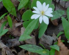 Bloodroot - Blooming now in the Indiana Forest Spring Wildflowers, Wild Flowers, Indiana, Bloom, Plants, Wildflowers, Plant, Planets