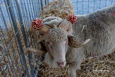 ram with pompom Sheep, Lamb, Goats, Tassels, Animals, Pom Poms, Animales, Animaux, Animal
