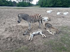 https://flic.kr/p/vun5do | Mittagspause | Zebra Babys beim dösen...