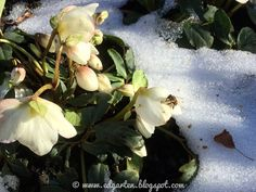 Winterglück - die Bienen Winter, Plants, Bumble Bees, Bees, Shade Perennials, Winter Time, Planters, Plant, Planting