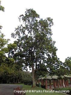Flora Fauna Web - Plant Detail - Magnolia champaca (L.