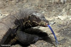 Blue Tongued Monitor Lizard from South East Asia and is second largest lizard after the Komodo Dragon.