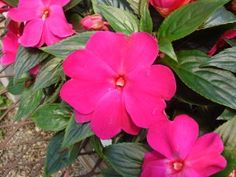 Growing Impatiens, Flowers for Shade - How to Care for Impatiens