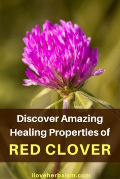 How Much Do You Know About Red Clover? - Red clover has been an important agriculture forage and fertility-improving crop since the middle ages. The plant contains phytoestrogens and is becoming increasingly important as a medicinal herb. Particularly for menopausal symptoms. Watch this videos and find out amazing healing properties of red clover.