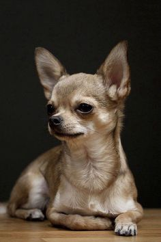This is a truly beautiful Chihuahua.  Take a look.... www.chiwawadogs.net