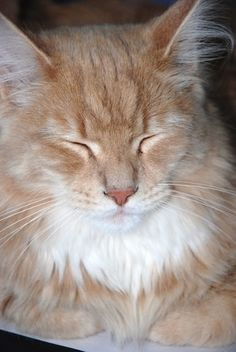 An orange Maine Coon cat. We're fairly certain that's our Maggie's breed (she's a rescue kitty).
