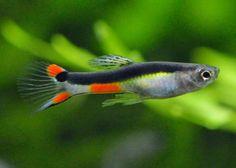 孔雀魚,結束