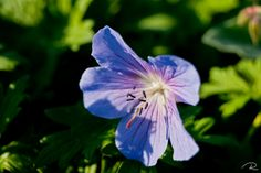 The Owlodactyl's nest: Flower and floral photos | Blue malva