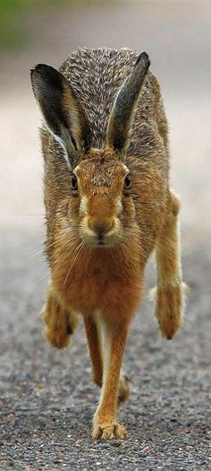 Running hare #wildlife