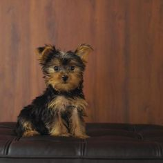 A Shorkie is a breed created by cross-breeding a Shih Tzu and a Yorkshire Terrier.