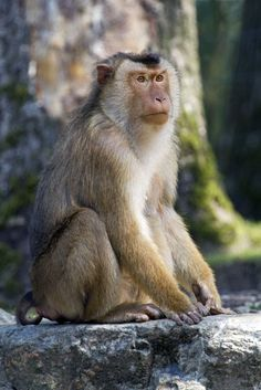 ASIA - Southern pig-tailed macaque (Macaca nemestrina) is a medium-sized Old World monkey. It is found in the southern half of the Malay Peninsula (only just extending into southernmost Thailand), Borneo, Sumatra and Bangka Island.