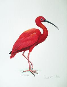 Scarlet Ibis. Possible tattoo. Loved the story in high school. So sad :-(