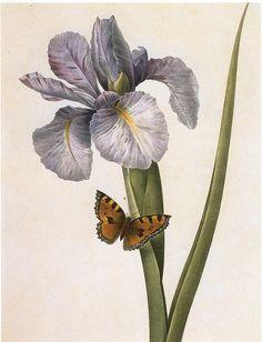 Spanish Iris ~ Redouté