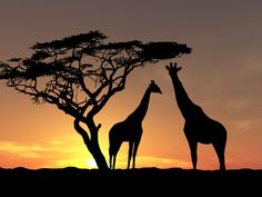 girafes au coucher du soleil Wallpaper