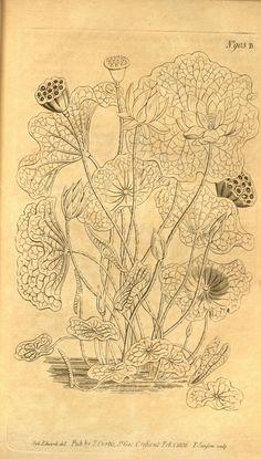 Curtis's botanical magazine.. London ;New York [etc.] :Academic Press [etc.]…