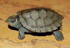 Mississippi Map Turtle - animal