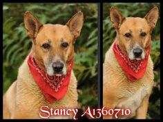 CALIFORNIA ~ meet Stancy ID A1360710 an #adoptable unaltered male, brown German Shepherd Dog, about 9yrs old & approx 75lbs in San Pedro.  He's been at the shelter since Dec 01, 2012.  #Adoption fees include spay/neuter surgery, all animals will be sterilized prior to release.    #Adoption ~ Harbor Animal Control 957 North Gaffey St. San Pedro, CA 90731 ~ For more information about this pet, call:  Harbor Animal  Control Ctr at (888) 452-7381  Ask for information about animal ID number…