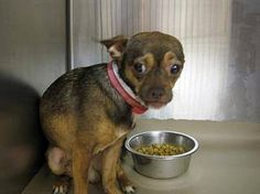 """((SUPER URGENT)) HIGH KILL SHELTER- """"Ben"""" a 2 yr old precious Chihuahua. He is terrified in the shelter environment and sense the danger there.  Won't someone save this scared boy from this high-kill shelter? PLS HELP NETWORK THIS LITTLE BABY! HURRY!   https://www.facebook.com/gcpetrescue/photos/a.514861361925464.1073741847.194011810677089/666548673423398/?type=3theater"""