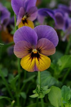 Viola brings cheerfulness and nostalgia to any landscape. The Celestial series of viola from Darwin Perennials offers many desirable attributes and was selected for its winter hardiness, heat… Exotic Flowers, Amazing Flowers, Purple Flowers, White Flowers, Beautiful Flowers, Love Flowers, Yellow Roses, Pink Roses, Flower Images