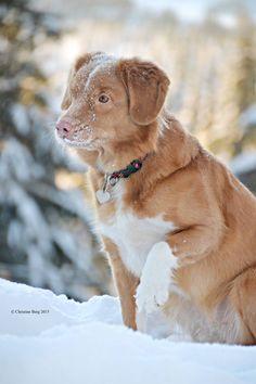 Tinka ~ Nova Scotia Duck Tolling Retriever Pup ~ Classic Look