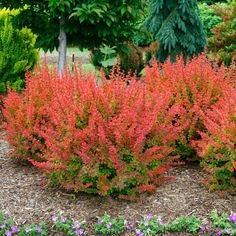 This colorful, medium size deciduous Shrub has stunning orange leaves like honey mixed with sunshine for a captivating sweet glow all spring, summer and fall. Japanese Barberry is a thorny shrub with a carefree habit. Thorny shrubs make for a formidable barrier plant for pets, people, or anything you wish to keep in or out of bounds. Tangelo forms a hedge that grows up to 48 inches tall which can be if desired, sheared to any size & shape. Inconspicous yellow flowers appear i...