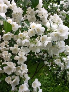 ~Mock Orange Light: Sun-Part Sun Zones: Height: feet tall. Features: Flowers, Fragrant, Drought Tolerant, Deer Resistant, Easy to Grow Beautiful Flowers, White Flowers, Fragrant Plant, Planting Flowers, Deer Resistant Plants, Shrubs, Fragrant Flowers, Mock Orange, White Gardens