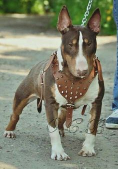 Tri color Bull Terrier