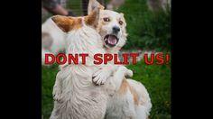 Animals new life e.V.  Boris & Iris looking for a home (Nur zusammen abzugeben)  Boris ist am 14.05.2014 geboren, ein sehr fröhlicher lieber Hund. Er läuft schon super an der Leine. Geimpft, entwurmt, gechipt, kastriert und mit EU-Ausweis kann er jederzeit ausreisen. Größe ca 45-48cm.   Iris ist am 05.01.2015 geboren, 46cm groß und 15kg schwer. Sie ist eine freundliche, liebevolle Hündin. Mit anderen Hunden versteht sie sich sehr gut, sie ist gar nicht dominant. Geimpft, entwurmt, gechipt…