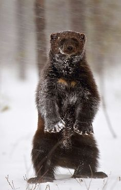 """Wolverine. Visit Facebook: """"Animals are Awesome"""". Animals, Wildlife, Pictures, Photography, Beautiful, Cute."""