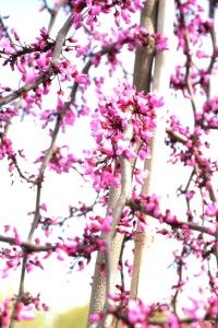 Ruby Falls redbud in bloom - native hybrid cercis canadensis. Compact form 6-8ft height. Deep purple foliage - interest in 4 seasons! Apr-May. Zone 6 max. R