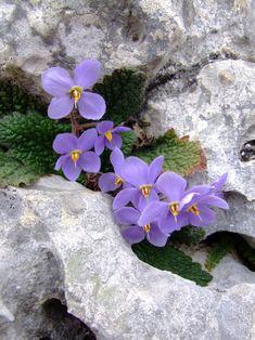 Purple flower – Famous Last Words Rock Flowers, Purple Flowers, Wild Flowers, Beautiful Flowers, Alpine Garden, Alpine Plants, Alpine Flowers, Bloom Where Youre Planted, Pansies