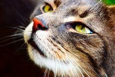 Katze, Tiger, Nahaufnahme, Tier