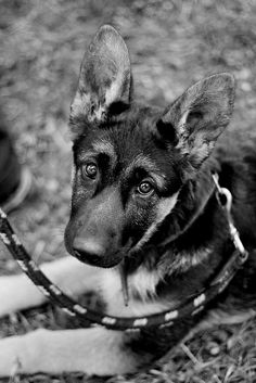 This looks like my old German shepherd that got list her name was nova my best friend in the whole world except her war had a little tilt in it, ;(