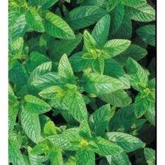 Herb Seeds - Green Mint - 5000 Seeds Nuts n' Cones…