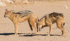 On the prowl: Two jackals, pictured waiting for their prey, have made the area close to the waterhole their home thanks to the rich pickings Zoo Animals, Predator, South Africa, Camel, Bird, Pets, Daily Mail, Waiting, Pictures