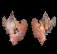 Pterynotus loebbeckii