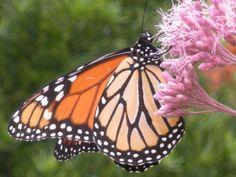 Monarch Butterfly - Just Beautiful